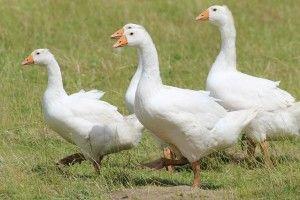 elevage d'oie et foie gras