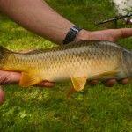 Carpe cuir pêchée dans le petit étang de pêche